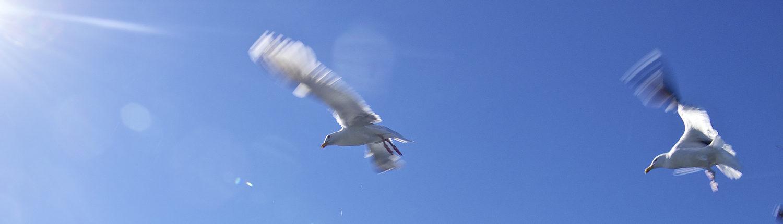 Möven fliegen