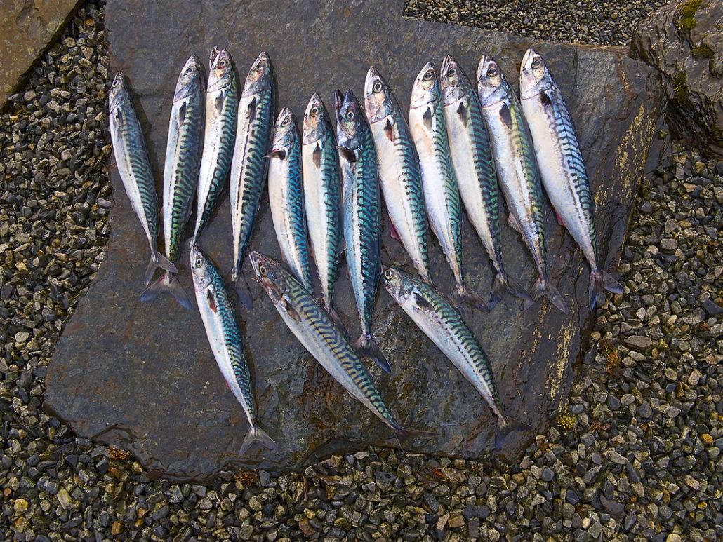 Makrelen, Aktuelles von Fjordtun