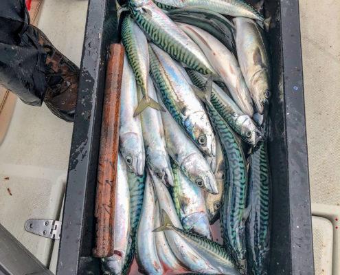 Erst-mal-Makrelen-fangen